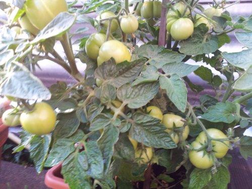 Tomaten im Blumentopf