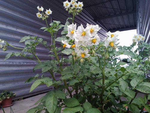 Unsere ersten selbst gepflanzten Kartoffeln in voller Blüte.